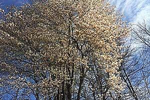 Trees Blooming